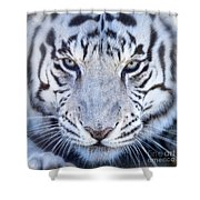 Khan The White Bengal Tiger Shower Curtain