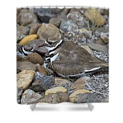 Killdeer And Young Shower Curtain