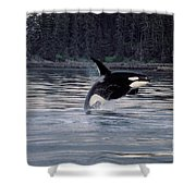Killer Whale Orcinus Orca Breaching Shower Curtain