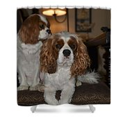 King Charles Dogs Shower Curtain