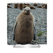 King Penguin Chick Shower Curtain