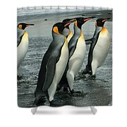 King Penguins Coming Ashore Shower Curtain