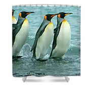 King Penguins Going To Sea Shower Curtain