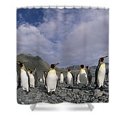King Penguins On Rocky Beach South Shower Curtain
