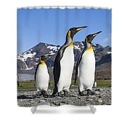 King Penguins St Andrews Bay South Shower Curtain