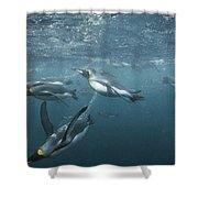 King Penguins Swimming Macquarie Isl Shower Curtain