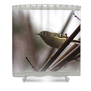 King - Ruby Crowned Kinglet - Bird Shower Curtain