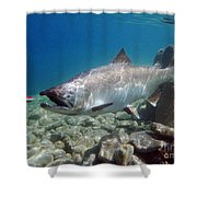 King Salmon And Dardevle Shower Curtain