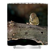 Kinglet On The Feed Shower Curtain