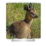 Klipspringer Antelope Shower Curtain