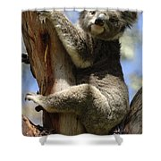 Koala Shower Curtain by Bob Christopher