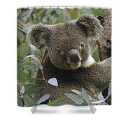 Koala Male In Eucalyptus Australia Shower Curtain