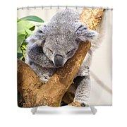 Koala Sleeping  Shower Curtain