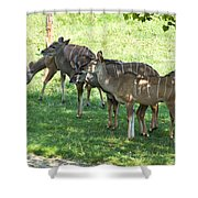 Kudu Antelope In A Straight Line Shower Curtain
