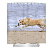 Labrador Dog Chasing Ball On Beach Shower Curtain