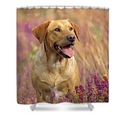 Labrador Dog Shower Curtain