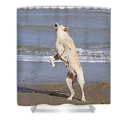 Labrador Dog Jumping For Ball Shower Curtain