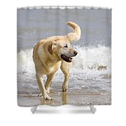 Labrador Dog Playing On Beach Shower Curtain