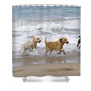 Labrador Dogs Running Shower Curtain