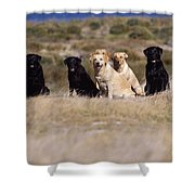 Labrador Dogs Waiting For Orders Shower Curtain