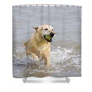 Labrador-mix Retrieving Ball Shower Curtain