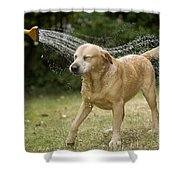 Labrador Playing In Water Shower Curtain