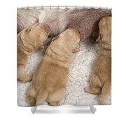 Labrador Puppies Suckling Shower Curtain