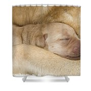 Labrador Puppy On Mother Shower Curtain