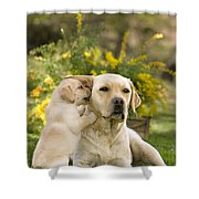 Labrador Puppy Playing With Parent Shower Curtain
