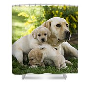 Labrador With Young Puppies Shower Curtain