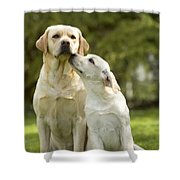 Labradors, Adult And Young Shower Curtain