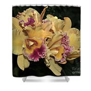Laeliocattleya Lydia Hubbell Shower Curtain