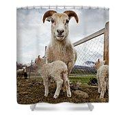 Lamb On A Farm, Iceland Shower Curtain