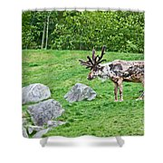 Large Reindeer Molting In Summer Pasture Art Prints Shower Curtain