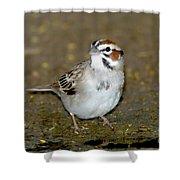 Lark Sparrow Shower Curtain