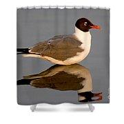 Laughing Gull Larus Atricilla Shower Curtain