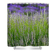 Lavender Layers Shower Curtain