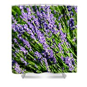Lavender Square Shower Curtain