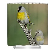 Lawrences Goldfinch Pair On Perch Shower Curtain