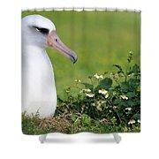 Laysan Albatross Nesting Hawaii Shower Curtain