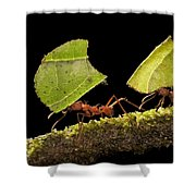 Leafcutter Ants Carrying Leaves Costa Shower Curtain