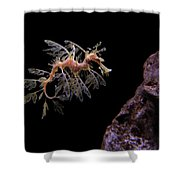 Leafy Sea Dragon Shower Curtain by Jonathan Sabin