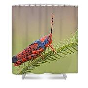 Leichhardts Grasshopper On Pityrodia Shower Curtain