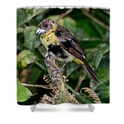 Lemon-rumped Tanager Molting Shower Curtain