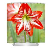 Lensbaby 2 Orange Red And White Amaryllis Blooms Shower Curtain