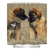 Leonberger Puppies Shower Curtain