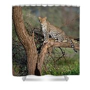 Leopard Panthera Pardus Sitting Shower Curtain