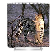 Leopard With African Wild Cat Kill Shower Curtain