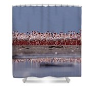Lesser Flamingos In Mass Courtship Lake Shower Curtain
