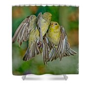 Lesser Goldfinch Females Fighting Shower Curtain